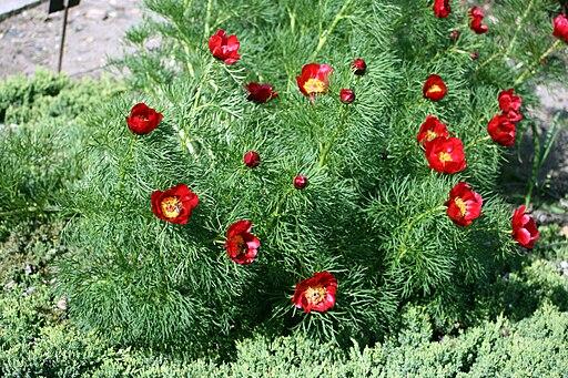 Paeonia tenuifolia prg1