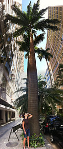 Palm Tree in Rio De Janiero with human for comparison.jpg