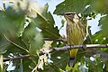Palm Warbler (37712346841).jpg