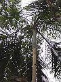 Palmera palmito Parque nacional Iguazú.JPG