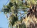 Palmeras en Trenque Lauquen (planta 06) foto 08.JPG