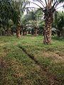 Palmoil fields.jpg