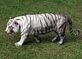Pana'ewa Rainforest Zoo--Namaste the White Tiger 2 (4466243234).jpg