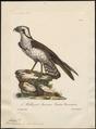 Pandion carolinensis - 1825-1834 - Print - Iconographia Zoologica - Special Collections University of Amsterdam - UBA01 IZ18100283.tif