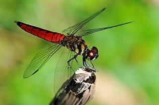 <i>Lyriothemis</i> genus of insects