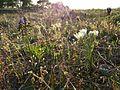 Pannonische Frühlingsannuelle und -geophyten sl3.jpg
