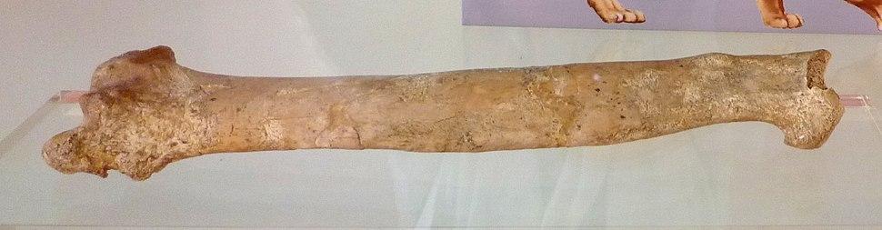 Panthera leo cf fossilis - radius - Ambrona