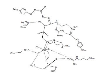 Pantothenate kinase - Fig. 3 Proposed catalytic mechanism for PanK-II