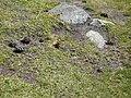 Papallona entre el Prat Fondal i l'estany Mal P1300519.jpg