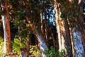 Paper Bark Trees at Kalae by Rose Braverman Molokai - panoramio.jpg