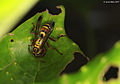 "Paper wasp with ""meat"" -1- (5380174184).jpg"