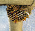 Paper wasps and nest.jpg