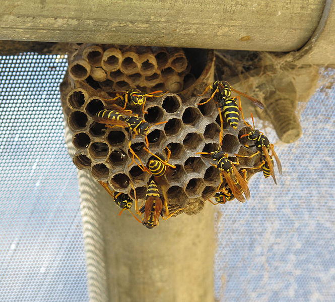File:Paper wasps and nest.jpg