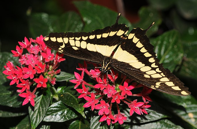 Papilio cresphontes (1).jpg