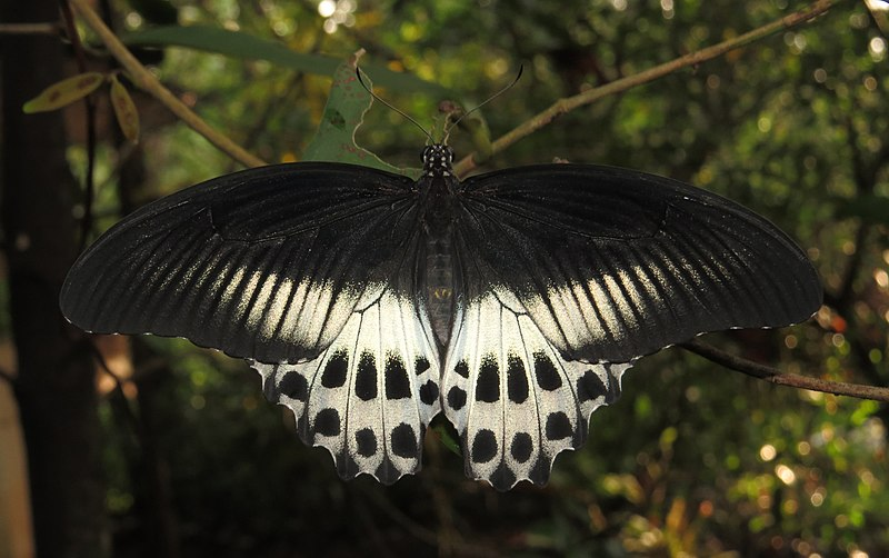 File:Papilio polymnestor – Blue Mormon 12.jpg