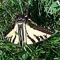 Papilio rutulus-3.jpg