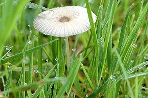 Parasola plicatilis - Image: Parasola spec. Lindsey 2a