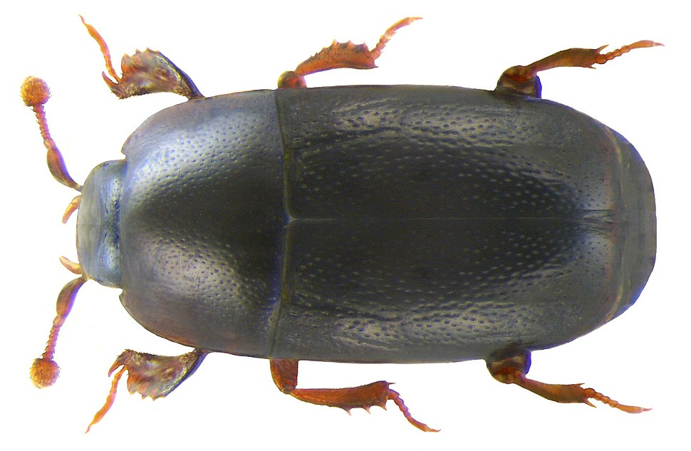 Paromalus parallelepipedus (Herbst, 1792) (3194888184)