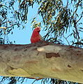 Parrot on a gum tree.jpg