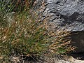 Parry rush, Juncus parryi (25454017366).jpg