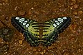 Parthenos sylvia-Kadavoor-2016-06-25-001.jpg