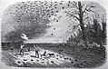 Passenger pigeon shooting in Iowa.jpg