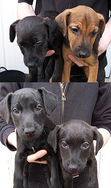 Patterdale Terrier Wikipedia