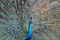 Pavo cristatus (Indian Peafowl) 25.jpg