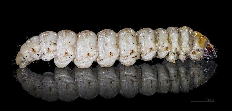 File:Paysandisia archon MHNT Caterpillar Fronton.jpg