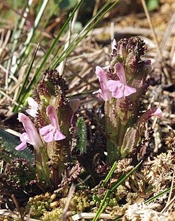 Pedicularis sylvatica 280407a.jpg