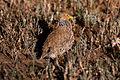 Pedionomus torquatus, South Australia 1.jpg