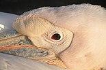 Pelecanus onocrotalus - Zoo Karlsruhe.jpg