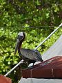 Pelicans at Crash Boat beach 2014.jpg