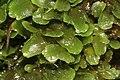 Pellia endiviifolia (b, 144739-474749) 2811.jpg