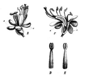 Peltogyne paniculata Taub78b.png
