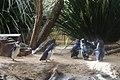 Penguins at WILD LIFE Sydney Zoo, Australia (Ank Kumar) 02.jpg