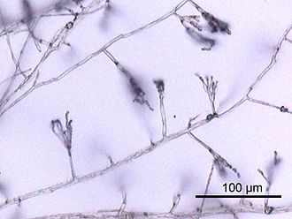 Hypha - Hyphae of Penicillium