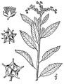 Penthorum sedoides L. Ditch stonecrop.tiff
