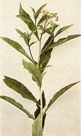 Penthorum sedoides WFNY-087B.jpg