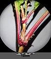 Persicaria lapathifolia subsp. brittingeri sl9.jpg