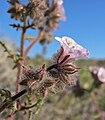 Phacelia vallis-mortae 7.jpg