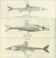 Phago loricatus intermedius boulengeri Boulenger 1909.png