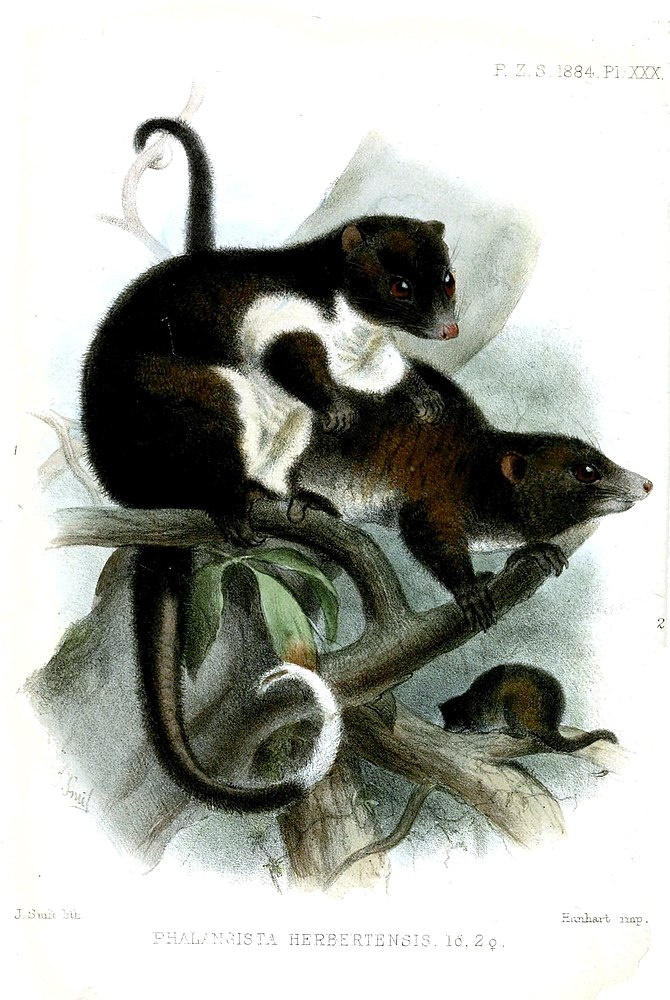 The average litter size of a Herbert River ringtail possum is 1