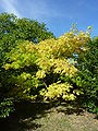 Phellodendron amurense (Rutaceae) (tree).JPG