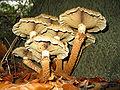 Pholiota squarrosa JPG2.jpg