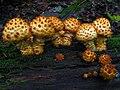 Pholiota squarrosoides 56037.jpg