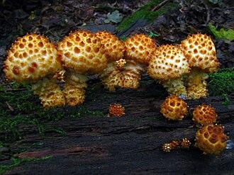 Leucopholiota decorosa - Image: Pholiota squarrosoides 56037