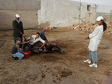 kastrering av eit muldyr i marokko