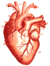 Physiology for Young People - 1884 - Heart (red) 1.png