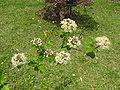 Physocarpus monogynus 3.jpg